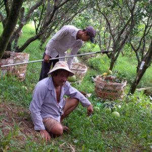 thu hoạch bưởi nă năm roim roi